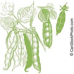 guisantes, vendimia, vegetal, drawing.