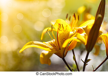 gul, blooming, liljer, på, en, solfyldt dag