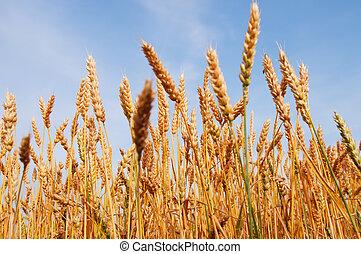 gul, korn, klar, för, skörd, växande, in, a, lantgård gärde