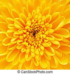gul, krysantemum, blomster kronblad