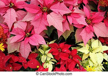 gul, lyserød, rød, julestjerne