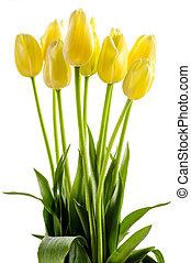 gul, tulpaner, blomningen, med, länge, stalk