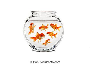 guldfisk bunke, med, många, fish, simning