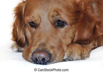 guldgul apportör, hund, lying.