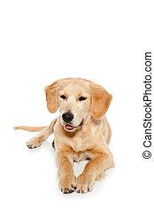 guldgul apportör, hund, valp, isolerat, vita