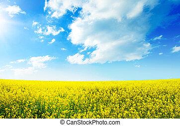 gule felt, rapeseed, blomstring