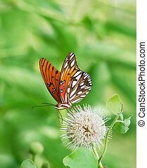 Gulf Fritillary butterfly (Agraulis vanillae) feeding on...