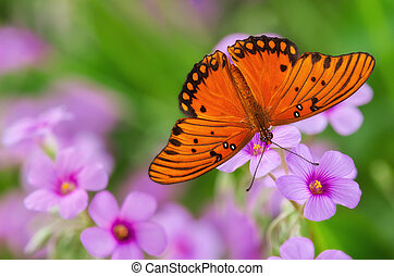 Gulf Fritillary butterfly (Agraulis vanillae) feeding on pink flowers in the garden