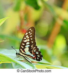 Gulf Fritillary butterfly Agraulis vanillae Natural green...