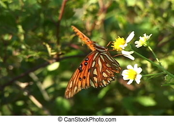 Gulf Fritillary butterfly sips nectar from a small flower.