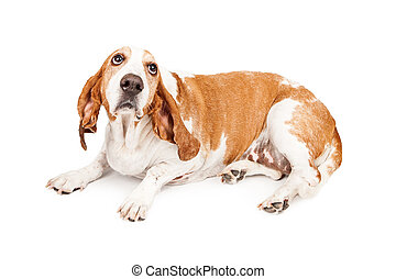 A Basset Hound dog laying and looking up with a sad expression as he is bing punished