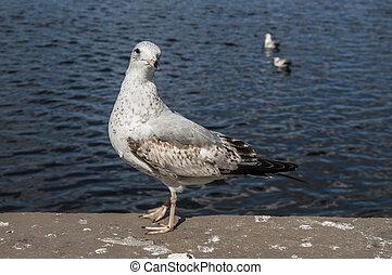 Gull 5087