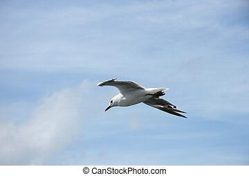 Gull - A gull in flight, against a slightly cloudy sky