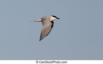 Gull-billed tern, Sterna nilotica, single bird in flight, ...