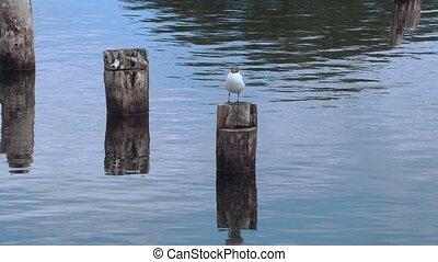 Gull bird on the wood on sea