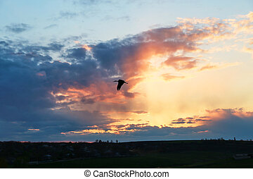 Gull flying at sunset above the field