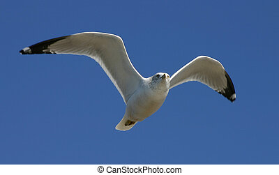 Gull - Flying gull
