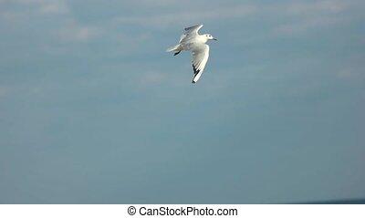 Gull flying over the sea. Bird and horizon. Flight of...