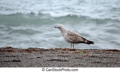 Gull . - Gull on the shore of a stormy sea.