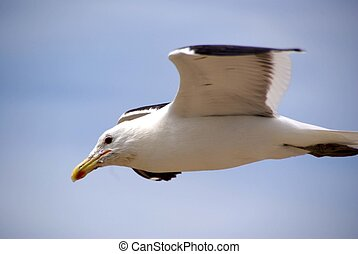 Gull in Patagonia