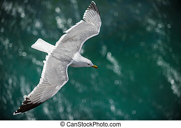 Gull in the air above the water with spread wings (Larus...