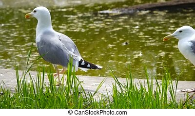 gull in the habitat