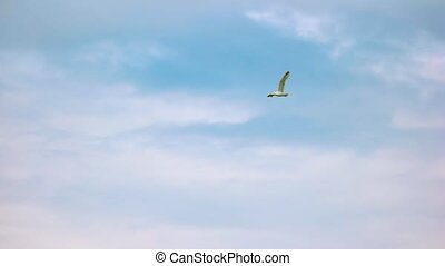 Gull in the sky. Bird flying in slow-mo. How far can...