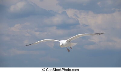 Gull in the sky. Slow Motion - A seagull soars in the sky....