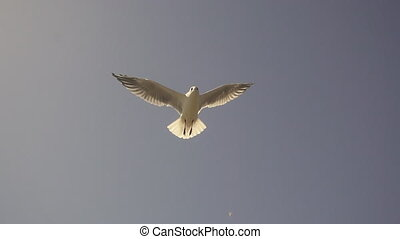 Gull in the sky. Slow Motion