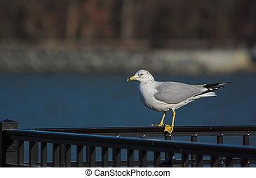 Gull on a Rail