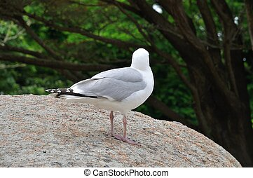 Gull on a rock in Brittany