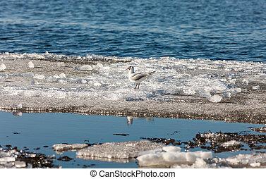 Gull on melting ice floe