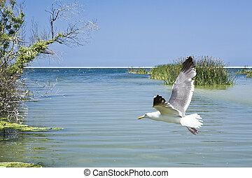 Gull Over Estuary - Seagull flying over McGrath State Park...