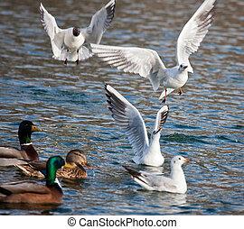 Gull over lake
