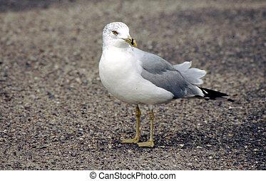 Gull, Ring Billed G-1627