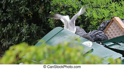 Seagull Scavenging For Food From A Rubbish Dumpster. Close Up View - DCi 4K Resolution