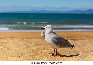 Gull - Sea gull in New Zealand coast