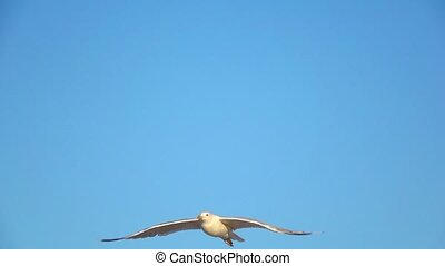 Gull soars into the blue sky and hovers in the open space. Slow motion