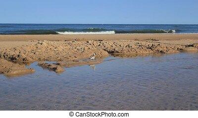 Gull Walking At The Beach