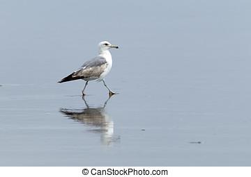 Gull walking in wet sand.