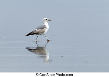 Gull walking in wet sand.