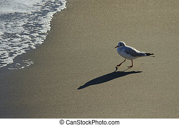 Gull walks at sunset