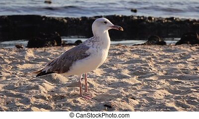 Gull walks the sand and looks for food on the seashore -...