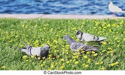 Gulls and doves eat on the grass at flower field by the sea...