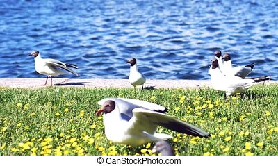 Gulls and doves eat on the grass at flower clearing by the...