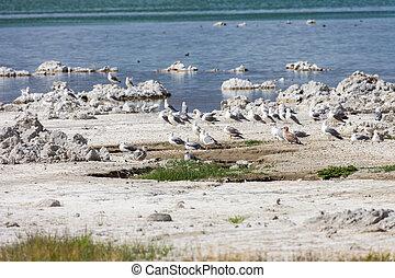 Gulls at Mono Lake