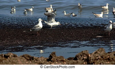 gulls at the sea - a few seagulls looking for food on the...