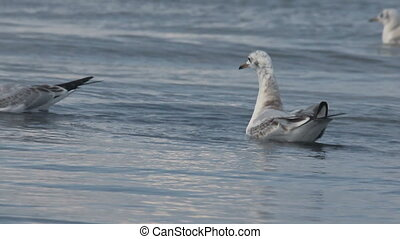gulls at the sea - a many gulls swimming and diving at the...