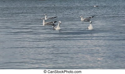 a many gulls swimming and diving at the sea