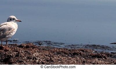 gulls at the sea - close-up a one slender-billed gull...